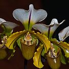 Paphiopedilum Orchid by Winston D. Munnings