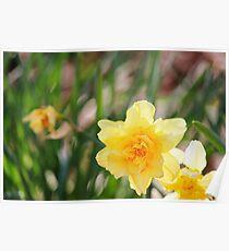 Springtime Daffodils Poster