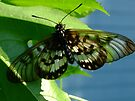 Glasswing Acraea andromacha by Gabrielle  Lees