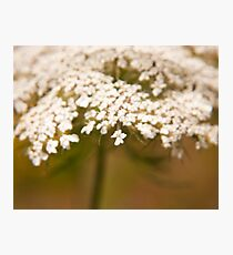 """Reminisence of an old lace bonnet"" - an elder flower Photographic Print"