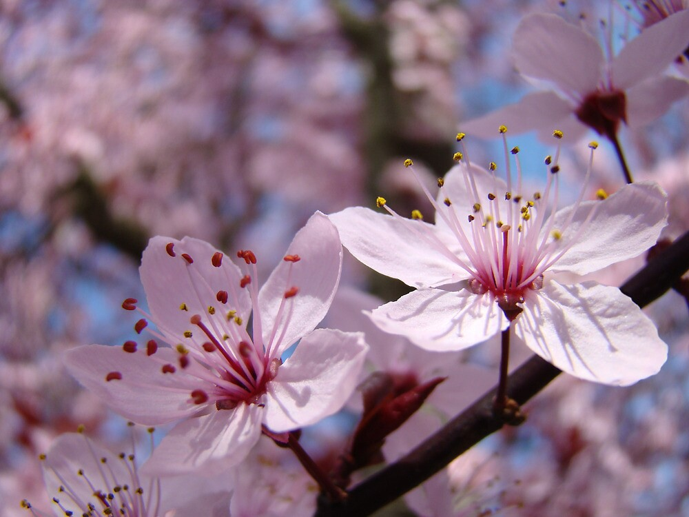 Pastel Spring Tree Blossoms Pink Blue Sky Baslee Troutman by BasleeArtPrints
