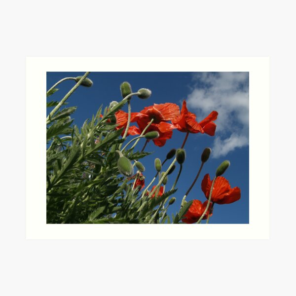Red Poppies from Below - Quakertown Art Print