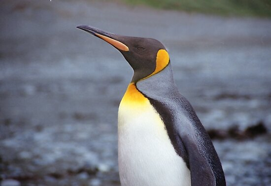 King Penguin Portrait by Carole-Anne