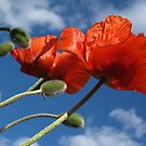 Red Poppies in Spring - Quakertown, PA by Anna Lisa Yoder