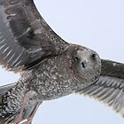 Juvenile Seagull by Laura Puglia