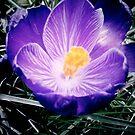Black Violet  by Lady  Dezine