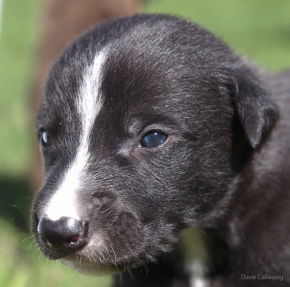 Greyhound  - 4 weeks old..  by Dave Callaway