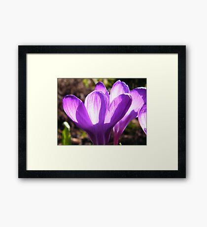 Crocus Petals (Back-lit) Framed Print