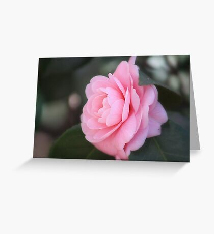 Calming Camelia Greeting Card