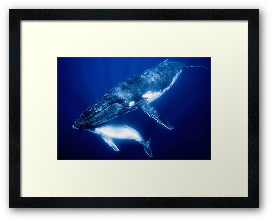 Humpback Whales by Melissa Fiene