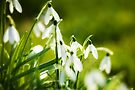 Graceful Galanthus by Andy Freer