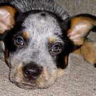 Australian Cattle Dog by David's Photoshop