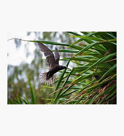 Male White Capped Noddy Tern - Mating Dance Photographic Print