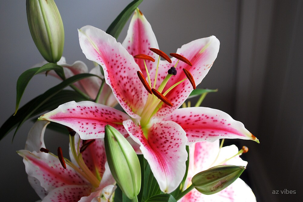 "flower stargazer lily"" by chris driscoll  redbubble, Beautiful flower"