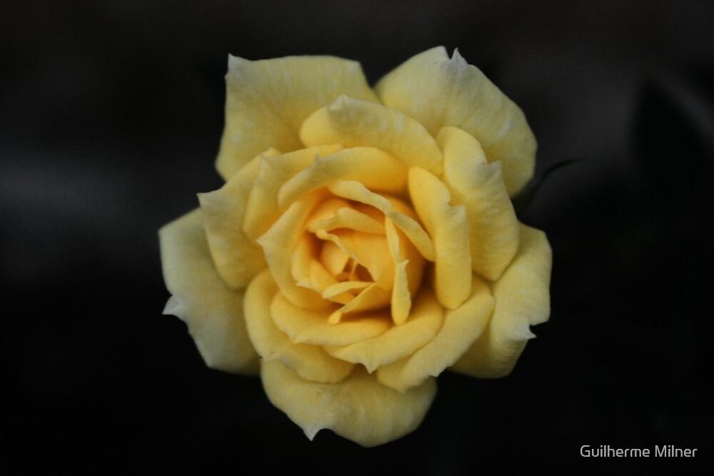 Macro - Yellow 'Mini-Rose' by Guilherme Milner