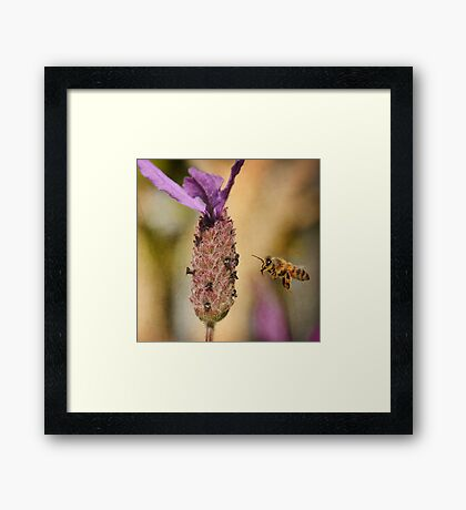 Lavender Bee-port Framed Print