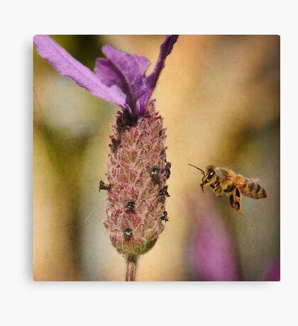 Lavender Bee-port Canvas Print