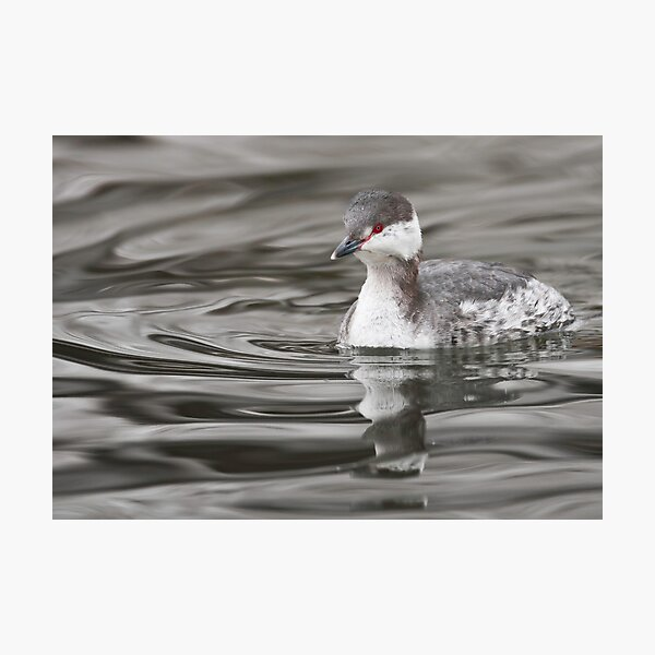 Horned Grebe Photographic Print