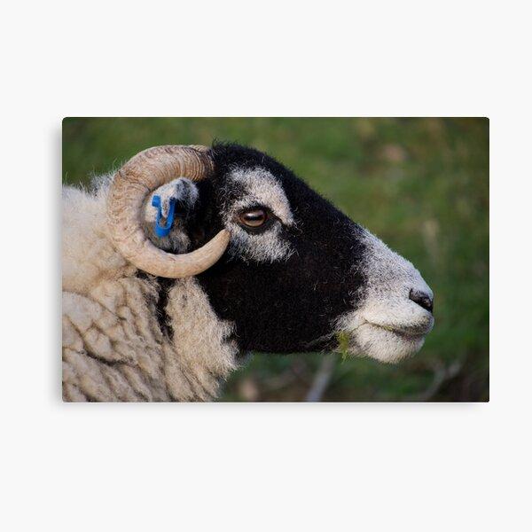 Sheep's Head Canvas Print
