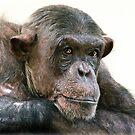 Chimpanzee Portrait by HelenBeresford