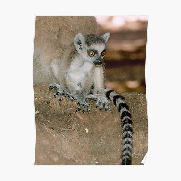 Baby lemur Poster