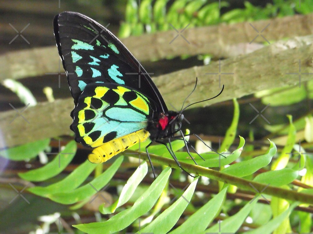 Cairns Birdwing Butterfly by Kymbo