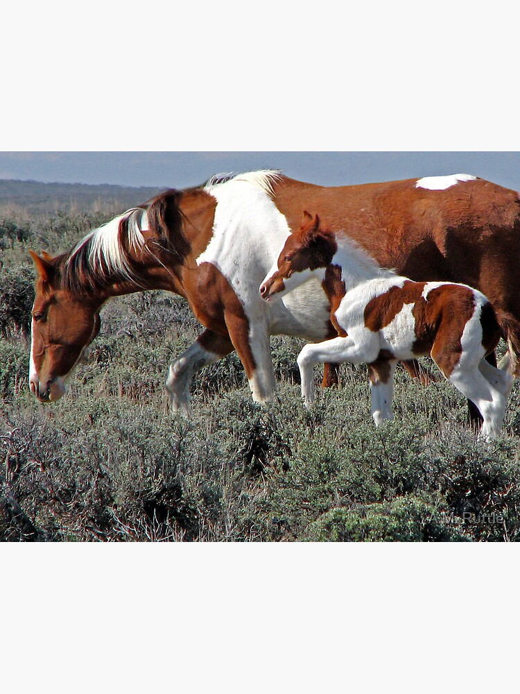 Wild Pinto Foal, Red Desert, Wyoming by annruttle