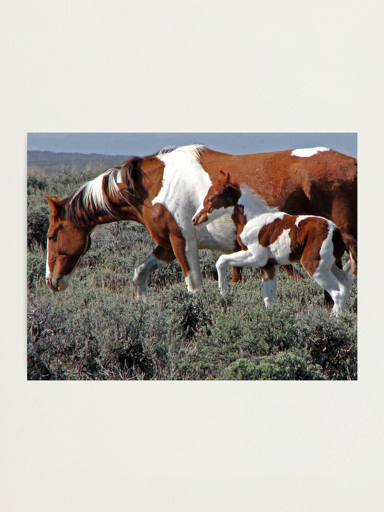 Alternate view of Wild Pinto Foal, Red Desert, Wyoming Photographic Print