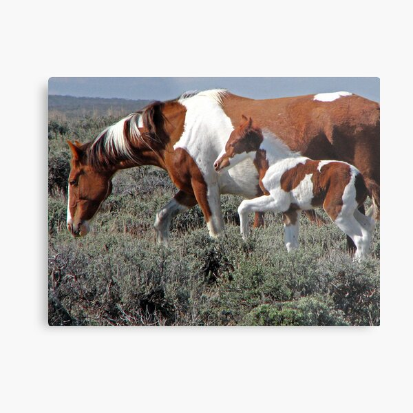 Wild Pinto Foal, Red Desert, Wyoming Metal Print