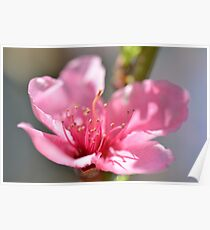 Pink peach blossom in macro Poster