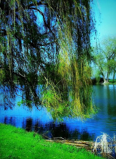 Beautiful weeping willow tree ©  by Dawn Becker