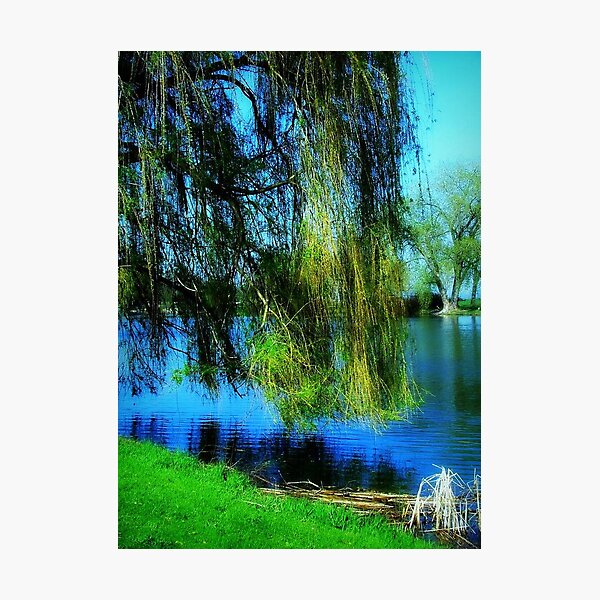 Beautiful weeping willow tree ©  Photographic Print
