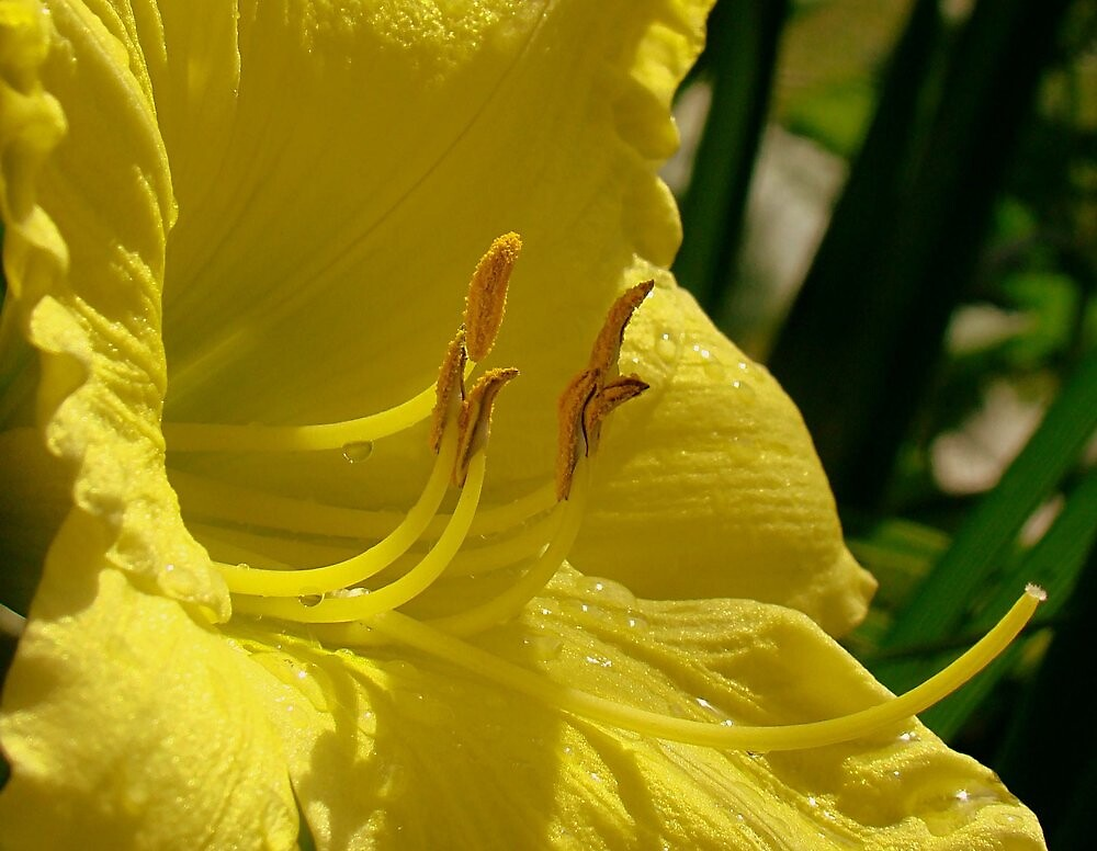 Reaching Out:  A Yellow Lilly by PatChristensen