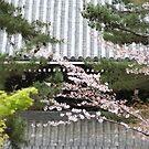 Nanzen-ji sakura by Jenny Hall