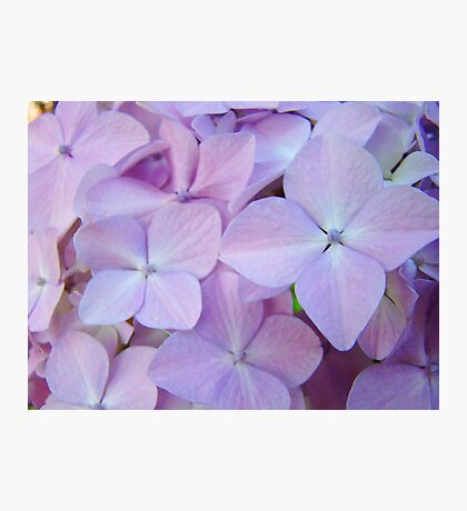 Hydrangea Flowers Gardens art prints Baslee Troutman Photographic Print