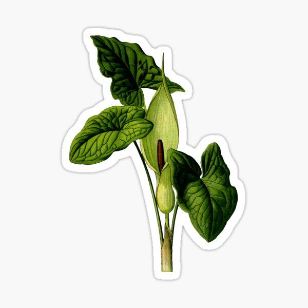 Flower and leaves of Arum maculatum Sticker