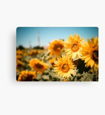Yellow Sunflowers Macro Canvas Print