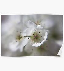 first blossoms of spring (pear tree) Poster