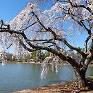 Weeping Willow in Bloom  by Gordon Taylor