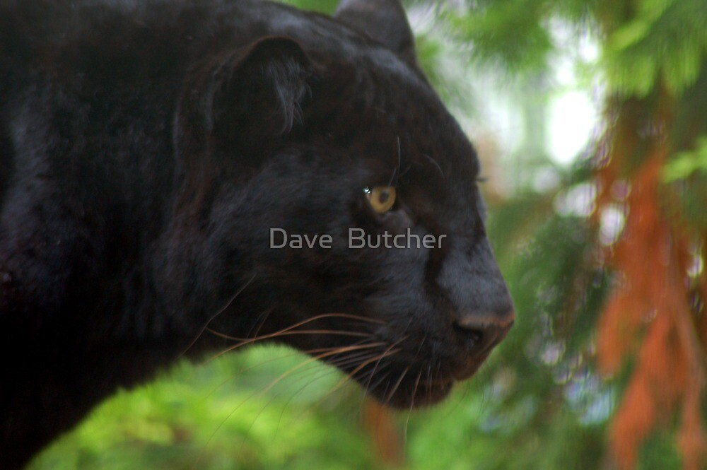 On The Prowl by Dave  Butcher
