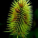 Teasel #2 by Trevor Kersley