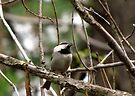 Mountain Chickadee ~  Deschutes National Forest ~ Bend, Oregon  by Kimberly Chadwick