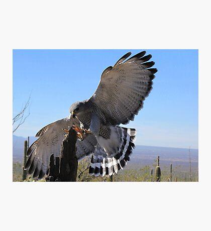 Gray Hawk ~ Brake Check! Photographic Print