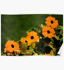 Flower Power!  Black Eyed Orange Blossoms Poster