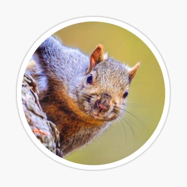 Squirrel, Just Peepin Photograph Sticker