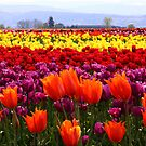 Fields of Color by Chrisdor