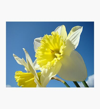 Spring Sunny Daffodil Flower Blue Sky art Baslee Troutman Photographic Print