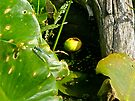 Spatterdock (Nuphar advena) - Yellow Water Lily by MotherNature