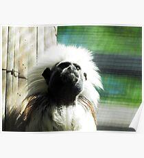 cotton-headed tamarin (Saguinus oedipus) @ AQUARIUM Poster