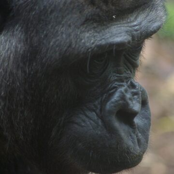 Gorilla profile by blennus